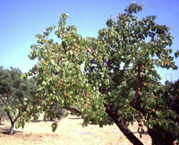 Apricot Tree (Prunus armeniaca)