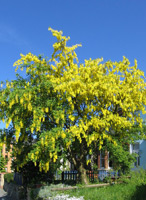 Goldregen (Laburnum anagyroides) ©Andrew Dunn, 13 May 2005
