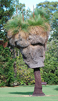 Grass Tree (Xanthorrhoea)