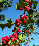 European holly (Ilex aquifolium)