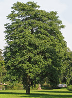 Tree of Heaven (Ailanthus altissima) ©Darkone