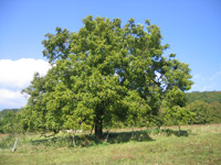 Walnut tree (Juglans regia) ©Thesupermat