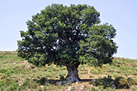 Holm oak (Quercus ilex) ©User:Amada44
