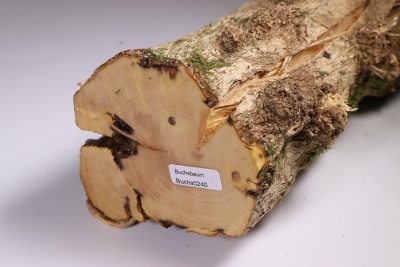 Boxwood Burl 320x90mm - Buchs0240